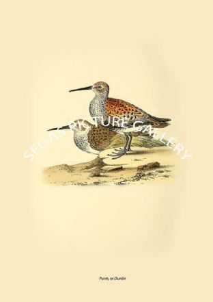 Purre, or Dunlin
